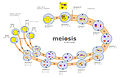 Meiosis diagram.jpg