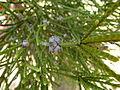 Melaleuca foliolosa 02.JPG