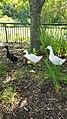 Melanistic Pekin Duck 6.jpg