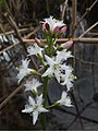 Menyanthes trifoliata Santa Colomba 02.jpg