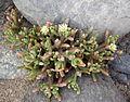 Mesembryanthemum nodiflorum kz8.JPG