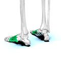 Metatarsal bones05.png