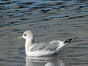 Mew Gull - Larus canus brachyrhynchus.jpg