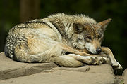 A critically endangered Mexican Gray Wolf is kept in captivity for breeding purposes.