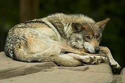 A captive, resting Mexican Wolf at the Minnesota Zoo