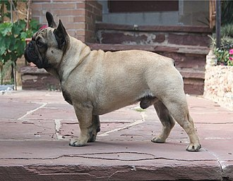 French Bulldog - Black Masked Fawn French Bulldog