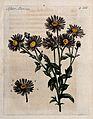 Michaelmas daisy (Aster amellus); flowering stem. Colour mez Wellcome V0044255.jpg