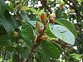 Michelia figo buds.JPG