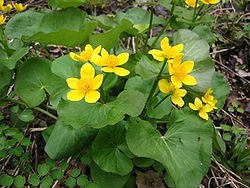 Michigan Marsh Marigolds.jpg