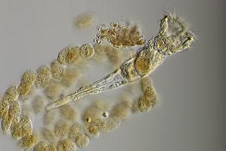 Rotifer - Ptygura pilula