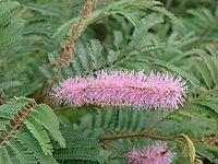 Mimosa verrucosa.jpg