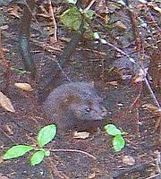 An American Mink, Mustela vison, in the wild.