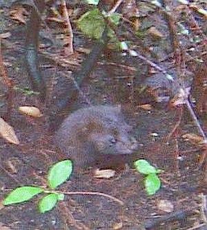 American mink - American mink in a burrow