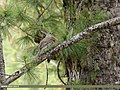 Mistle Thrush (Turdus viscivorus) (34157358044).jpg