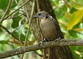 Molothrus bonariensis (Chamón parásito) - Hembra juvenil (14677484004).jpg