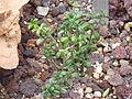Monanthes laxiflora (Sukkulentensammlung).jpg