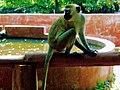Monkeys msa hallerp.jpg