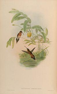 Little hermit Species of bird
