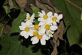 Montanoa bipinnatifida 3596.jpg