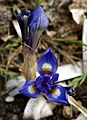 Moraea sisyrinchium Mallorca 052.jpg