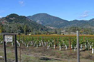Napa County, California - Young vineyard in the valley with Mount Saint Helena in the background
