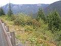 Mountain Ash along Chinook Pass (1456235461).jpg