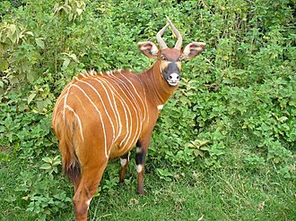 Bongo (antelope) - This female eastern bongo presents her hindquarters while looking over her shoulder to check for threats at Mt. Kenya Wildlife Conservancy.