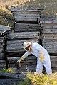 Moving wild bees, Guantanamo.jpg