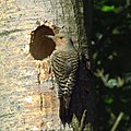 Mrs. Northern Flicker at her home (34120843813).jpg