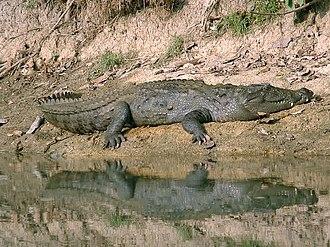 Chitwan National Park - Basking mugger crocodile