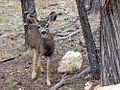 Mule deer (1).jpg