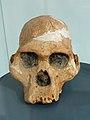 Musée national d'Ethiopie-Australopithecus female cranium.jpg
