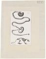 Mus sylvaticus - ingewanden en skelet - 1700-1880 - Print - Iconographia Zoologica - Special Collections University of Amsterdam - UBA01 IZ20500092.tif