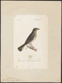 Muscicapa parva - 1842-1848 - Print - Iconographia Zoologica - Special Collections University of Amsterdam - UBA01 IZ16500155.tif