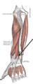 Musculusextensorindicisproprius.png
