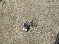 My glove beside moose track, Cape Jourimain Trail, NB (34039870486).jpg