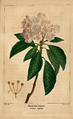 NAS-068 Kalmia latifolia.png