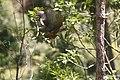 NZ Falcon - Karearea 07.JPG