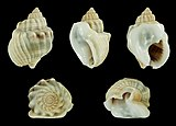 Nassarius arcularia 01.JPG