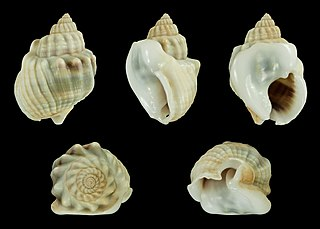 <i>Nassarius arcularia</i> species of mollusc