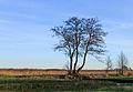 Nationaal Park Weerribben-Wieden. Meerstammige els (Alnus) 01.jpg