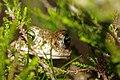 Natterjack Toad (Epidalea calamita) (7557521746).jpg