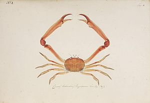 Philipp Franz von Siebold - Illustration made for Siebold by Kawahara Keiga of the crab Carcinoplax longimana, 1820s