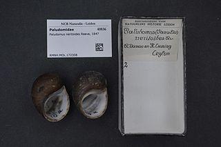 <i>Paludomus</i> genus of molluscs