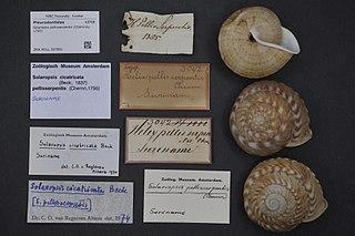 <i>Solaropsis</i> genus of molluscs