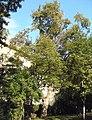Naturdenkmal 620 2011-09-23 P9230019 Wien19 Max-Patat-Weg BaumD GuentherZ.JPG