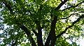 Naturdenkmal Stiel-Eiche Friedhof der Märzgefallenen Volkspark Berlin-Friedrichshain 05.JPG