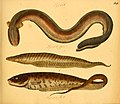 Naturgeschichte in Bildern mit erläuterndem Text (Taf. XIX) (6059206022).jpg