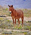 Navajo Nation Mule 9-15 (21800633621).jpg