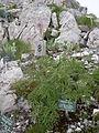 Naye-Alpengarten 06.JPG